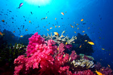 A Branching Pink Carnation Coral Swarming with Colorful Reef Fish