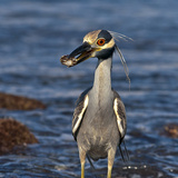 A Yellow Crowned Night Heron Feeding on a Crab in a Pacific Tidal Pool