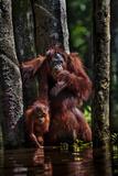 Orangutans in a Peat Swamp Delta at the Borneo Orangutan Survival Center Papier Photo par Mattias Klum