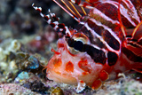 A Venomous Spotfin Lionfish Displays its Vivid Red Stripes and Spines