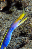 A Blue Ribbon Eel  Rhinomuraena Quaesita  in its Burrow Below a Reef