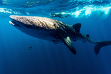 A Scientist Photographs Whale Shark Skin Markings for Research