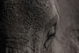 Close Up of an African Elephant's Eye and Forehead