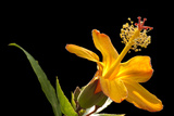 A Hawaiian Orange Hibiscus  Hibiscus Kokio Saintjohnianus