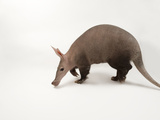 An Aardvark  Orycteropus Afer  from the Omaha Zoo