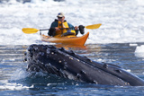 A Humpback Whale  Megaptera Novaeangliae  Surfaces in Brash Ice Near a Kayaker