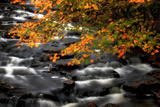 A Waterfall Cascading Past Maple Trees  Acer Species  in Autumn Hues