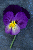 Close Up of Single Purple Mauve and Yellow Flower of Pansy or Viola Tricolor Lying