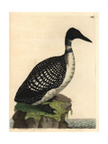 Northern Diver or Loon  Colymbus Glacialis