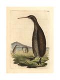 Brown Kiwi  Apteryx Australis
