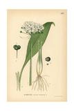 Ramsoms  Allium Ursinum