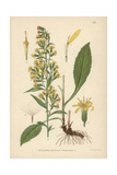 Goldenrod or Woundwort  Solidago Virgaurea