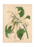 Poinsettia Pulcherrima Var AlbidaShowy White Poinsettia