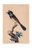 Superb Fairywren (Malurus Cyaneus Cyaneus)  also known as the Superb Blue-Wren or the Blue Wren