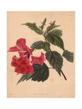 Hibiscus Rosa-Sinensis Scarlet Hibiscus