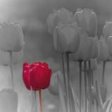 Tulip Accent I