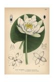 European White Waterlily  White Lotus or Nenuphar  Nymphaea Alba
