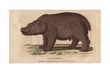 Hippo or HippopotamusHippopotamus Amphibius