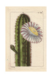 Peruvian Cactus with Large White Flower  Cactus Peruviana