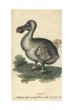 Dodo  Raphus Cucullatus  Extinct Flightless Bird