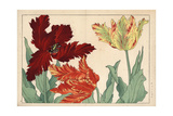 Tulips  Tulipa Gesneriana Varieties