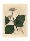 White Flowered Poison Nut  Strychnos Nux Vomica