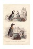 Puffin  Extinct Great Auk  and Emperor Penguin