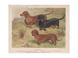 Dachshunds- Smooth  Red and Black-And-Tan