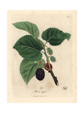 Common Mulberry Tree  Morus Nigra