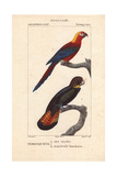 Cuban Red Macaw  Ara Tricolor  Extinct  and Red-Tailed Black Cockatoo Calyptorhynchus Banksii