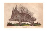 African Crested Porcupine  Atherurus Africanus