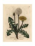 Yellow Flowered Common Dandelion  Leontodon Taraxacum