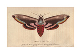 Privet Moth or Privet Hawk Moth Sphinx Ligustri