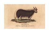 Grunting Ox or YakBos Grunniens (Or Bos Gruniens)