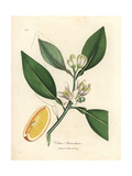 White Blossom and Ripe Fruit Segment of the Orange Tree  Citrus Aurantium