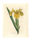 Yellow Water Flag  Iris Pseudocorus
