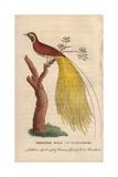 Greater Bird of Paradise  Paridisaea Apoda