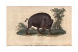 Wild BoarSus Scrofa