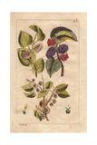 White and Black Mulberries  Morus Alba  Morus Nigra