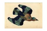 Indian Roller  Coracias Benghalensis