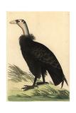 California Condor  Gymnogyps Californianus Critically Endangered