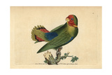 The Guinea Parrakeet or Red-Headed Lovebird Agapornis Pullarius (Psittacus Pullarius)
