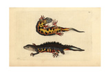 Great Crested Newt  Triturus Cristatus Critically Endangered