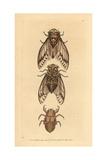 Cicada  Lyristes Plebejus