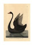 Black Swan  Cygnus Stratus