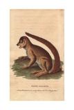 Flocky Maucauco or Macauco  Woolly Lemur or Indri Lemur Laniger