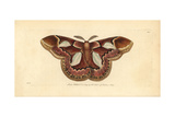 Rothschild Moth  Rothschildia Erycina