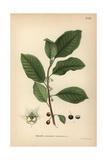 Alder Buckthorn  Rhamnus Frangula