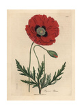 Red or Corn Poppy  Papaver Rhoeas