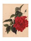 Hibiscus Rosa-Sinensis Rubra  Scarlet Hibiscus